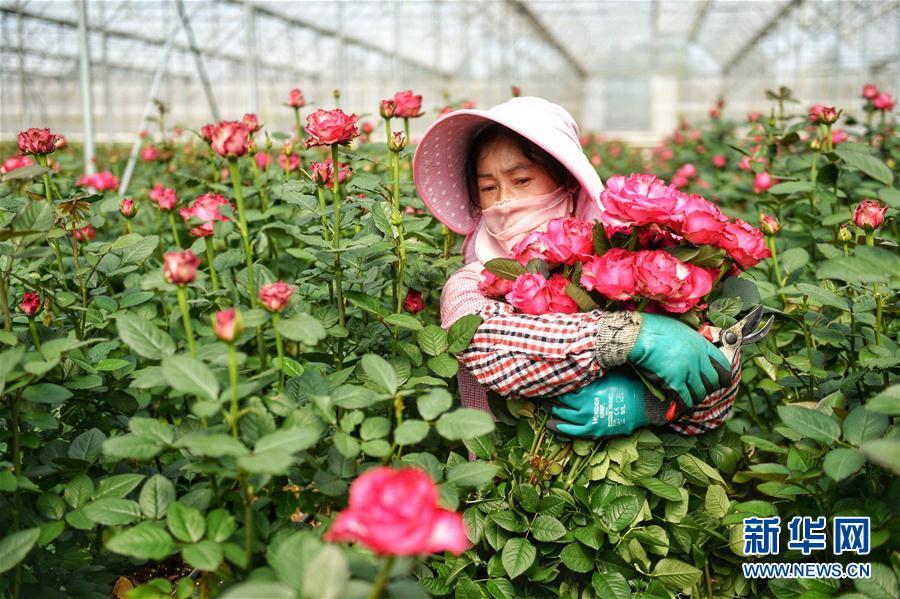 """2月13日,工人在昆明一家花卉企业的鲜花基地采摘玫瑰。 近日,云南3家知名花卉企业与电商平台联合推出节日花卉销售活动。截至2月13日,3天时间共售卖50万支高端鲜切花,通过""""大数据汇聚""""""""基地直供""""""""全程冷链""""等手段,让鲜花保持最佳状态到达消费者手中。 新华社记者秦晴摄"""