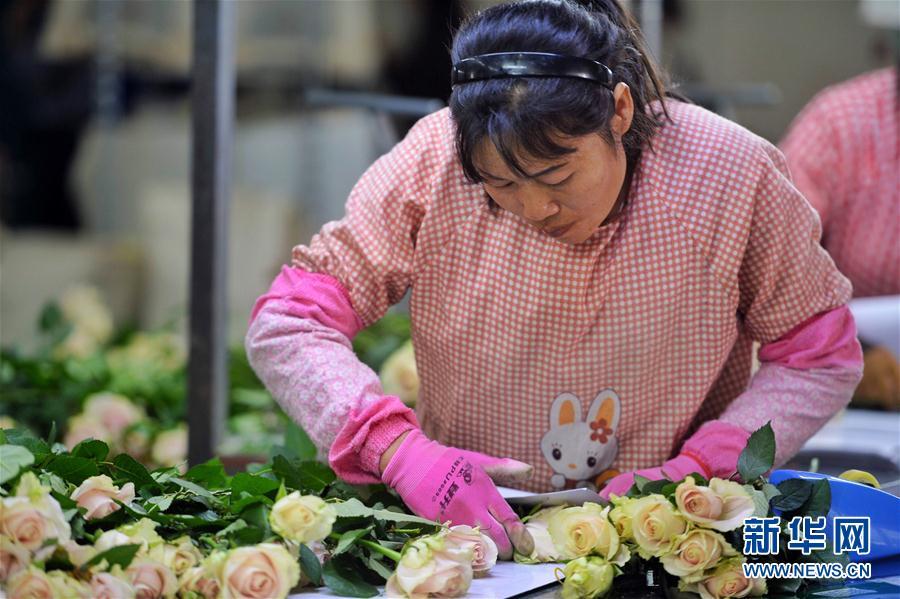 """2月13日,工人在昆明一家花卉企业的鲜花基地包装玫瑰。 近日,云南3家知名花卉企业与电商平台联合推出节日花卉销售活动。截至2月13日,3天时间共售卖50万支高端鲜切花,通过""""大数据汇聚""""""""基地直供""""""""全程冷链""""等手段,让鲜花保持最佳状态到达消费者手中。 新华社记者秦晴摄"""