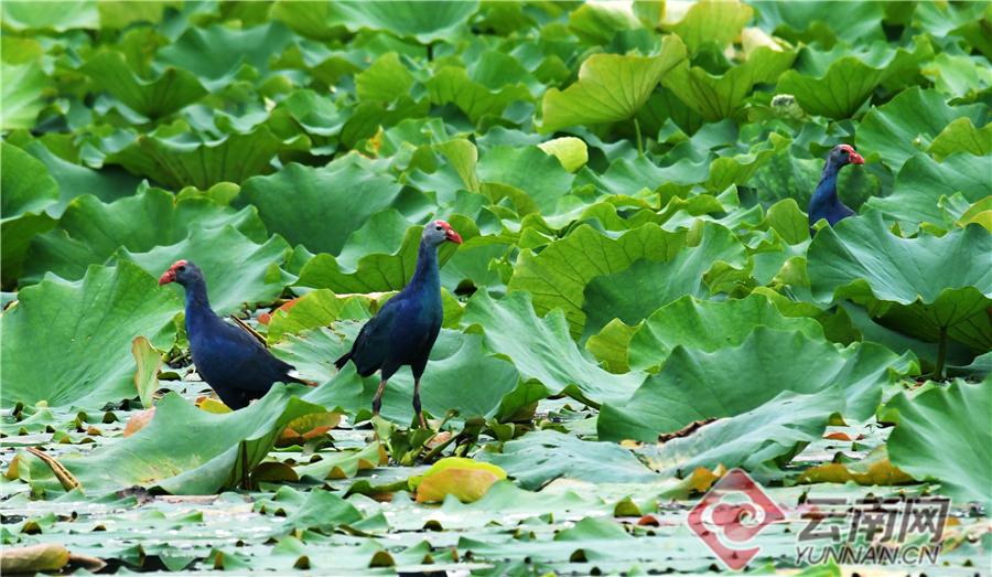 继云南省极小种群保护物种紫水鸡在异龙湖安居落户后,国家二级野生重点保护动物——彩鹮现身异龙湖。近日,记者从石屏县异龙湖国家湿地公园管理部门获悉,经过对区域内的鸟类种类、数量及栖息环境进行的统计和记录,历经逐年修复湿地生态系统,异龙湖已经成为珍稀鸟类栖息繁衍的乐园。(记者 李树芬 通讯员 孔宾)