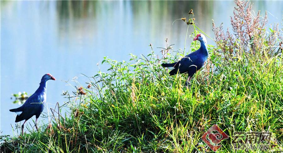 上世纪80年代,科研人员在异龙湖发现了紫水鸡的分布,属于当地的优势物种,异龙湖也成为当时云南省重要的紫水鸡栖息地之一。1994年起,云南省专门颁布了《异龙湖保护管理条例》,使异龙湖湿地的保护工作走上了法治化道路,紫水鸡等珍稀野生鸟类得以有效保护。如今,紫水鸡已在异龙湖稳定繁殖生存,历史最高种群数量达460余只。