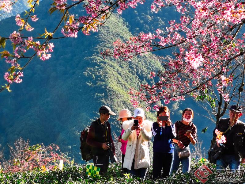 南澗:冬櫻花盛開的時節