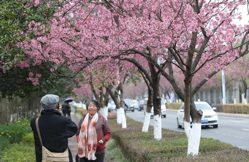 市民被冬樱花吸引。