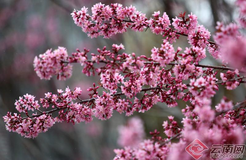 昆明红塔西路沿线冬樱花竞相绽放。
