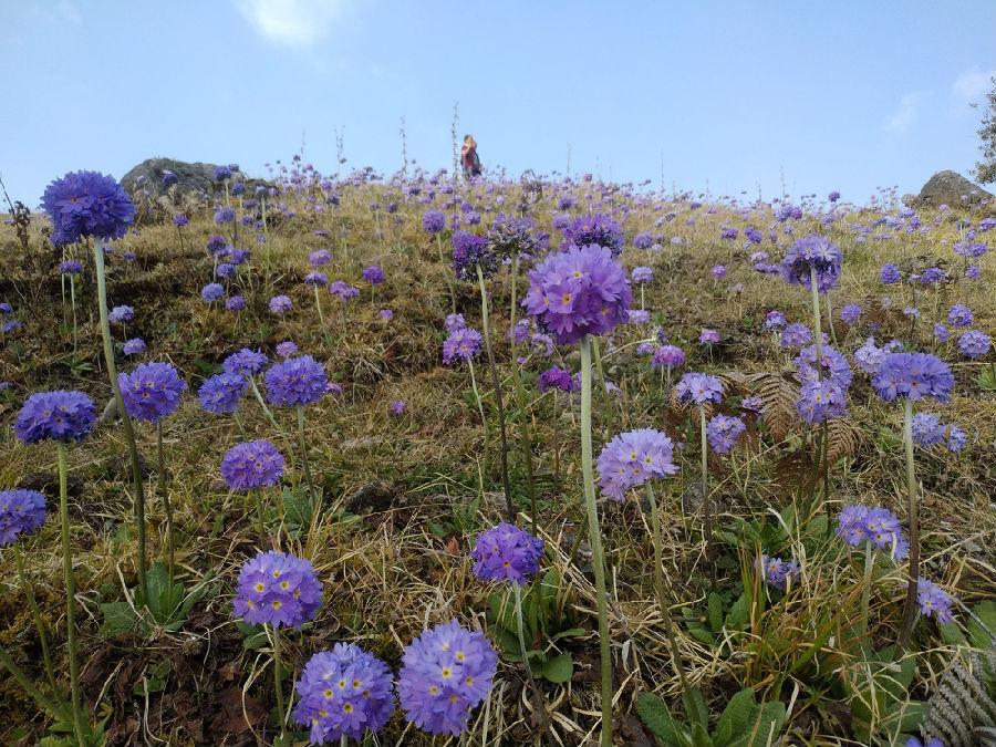 放眼望去,遍地蓝色的报春花,仙气逼人,置身其中,让人心旷神怡,一身的疲倦瞬间烟消云散。