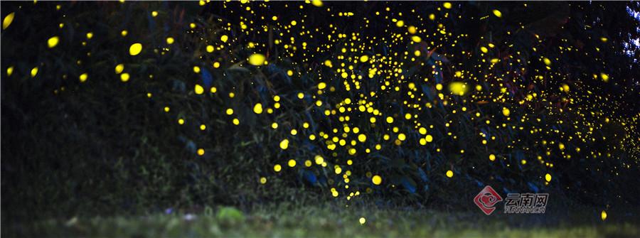 """盛夏的西双版纳,一串串闪烁灵动的萤火在林间窜动,它们成群结队,宛若星空。这些小精灵是童年的记忆,微风徐徐,在热带植物园里,周围的一切仿佛都是童话故事一般,让人产生无限遐想。随着云南的生态环境逐渐向好,人们有了多更的机会与萤火虫一起邂逅美好。(原标题:萤火宛若星空 西双版纳的""""小精灵""""带你回到童年,记者:熊强 赵黎浩,摄影:张娇娇)"""