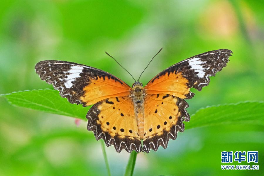白带锯蛱蝶