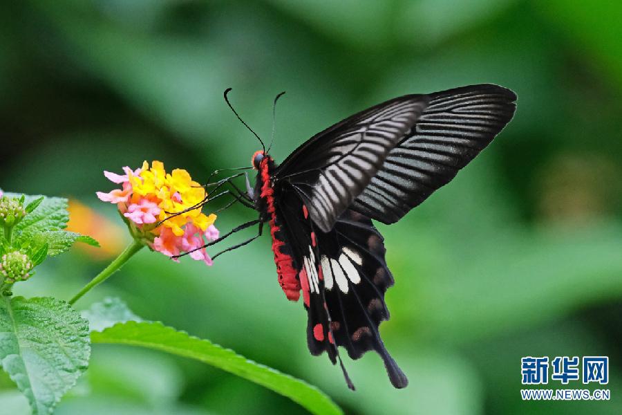 图为红珠凤蝶。自6月初以来,云南省金平苗族瑶族傣族自治县马鞍底乡上亿只蝴蝶宝宝化茧成蝶,有的如巴掌般大,有的像手指甲般小,竹林里、花丛中、水塘边、马路旁随处可见色彩斑斓的蝴蝶来回飞舞,尤其是地处地西北村附近的蝴蝶园,更是蝴蝶的乐园,成千上万只彩蝶在花丛中或觅食、或嬉戏,形成了一道亮丽的风景。马鞍底乡蝴蝶资源十分丰富。我国共有蝴蝶种类12科,马鞍底乡就有11科,蝴蝶种类达到320多种,包括箭环蝶、凤眼蝶、枯叶蛱蝶、白带锯蛱蝶、褐钩凤蝶、喙凤蝶、紫斑环蝶、美凤蝶等,数量超过一亿只。(记者 张洪科)