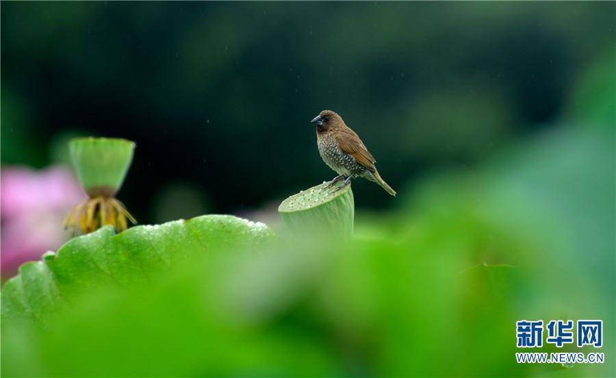这是7月20日在云南省弥勒市弥阳镇拍摄的小鸟。当日,云南弥勒迎来降雨,鸟儿立于荷尖。盛夏七月,云南省弥勒市弥阳镇荷花绽放,雨中荷花娇艳欲滴,鸟儿也飞来立于荷尖,构成一道亮丽的乡村风景线。新华网发(普佳勇 摄)