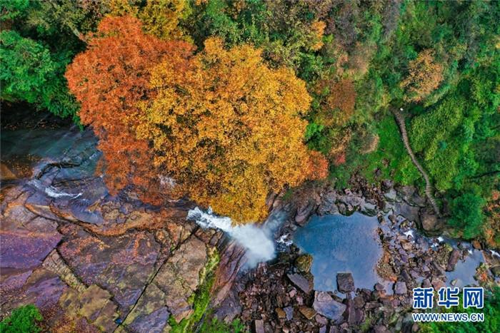 云南省昭通市彝良县小草坝省级风景名胜区,平均海拔1710米,森林覆盖率达78.6%,动植物种类繁多,是大自然的杰作。每到秋末初冬时节,漫山遍野的红叶成为一道壮丽的景观,由于树叶变红的程度不同,呈现五彩斑斓、层林尽染的景象。图为航拍金黄树叶下的瀑布。新华网发(左滨洪 摄)