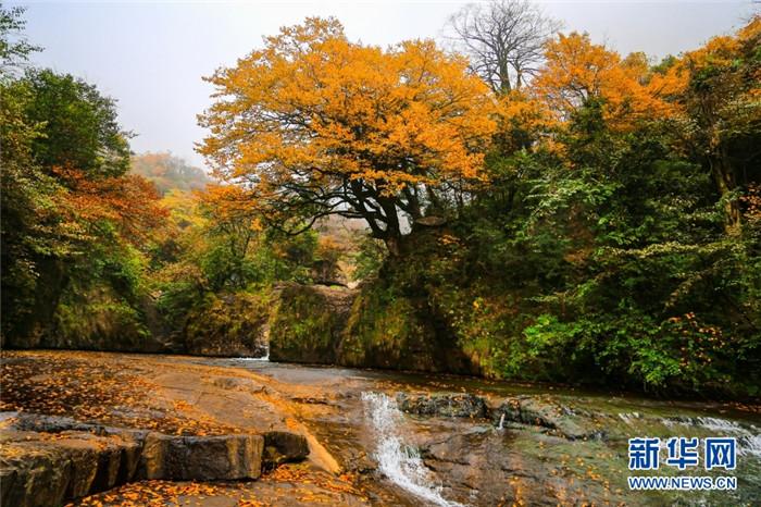金黄树叶与溪水构成一幅美丽画卷。新华网发(左滨洪 摄)