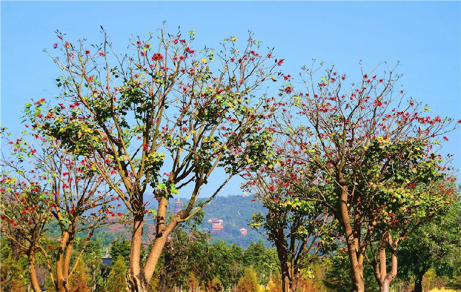 """""""瞧,从红河水乡到甸溪河,都有这种郁郁苍苍的高大乔木。每一棵都在五六丈以上,这一树月牙红好美丽啊"""",几位来自河南的游客感叹说。"""