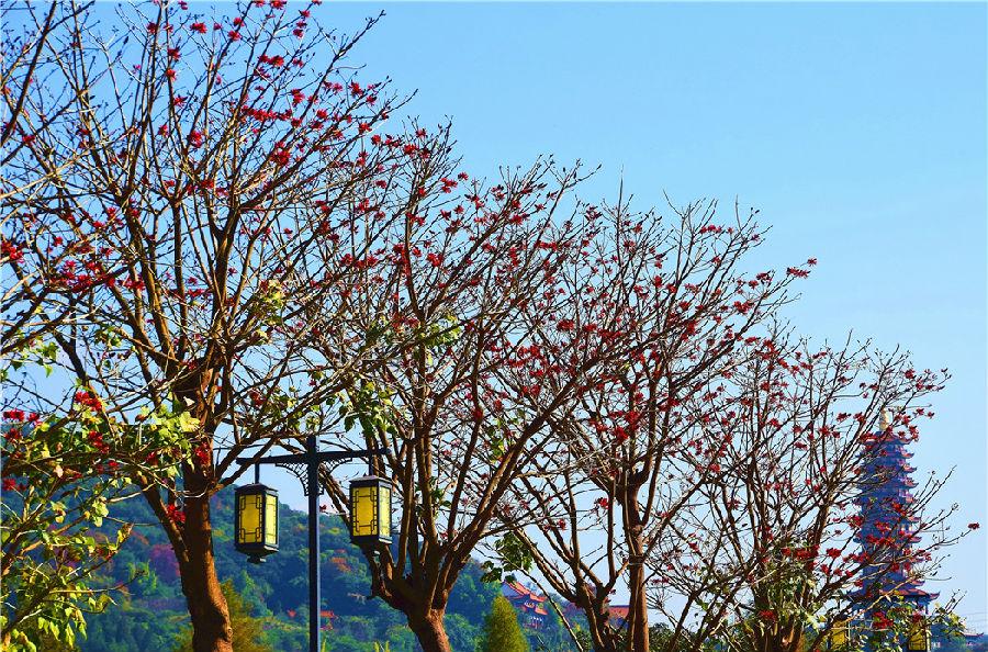 国内其他省的刺桐花一般在春末夏初开,但因纬度、气候、土壤等原因,云南的却在冬天里盛开。