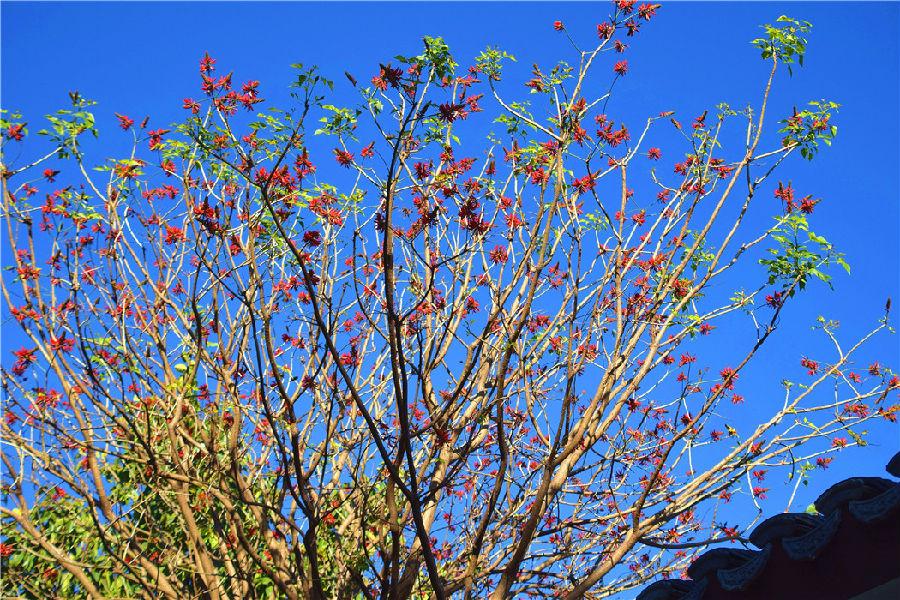 在红河水乡,也有数百株刺桐在南部道路的两侧绽放,一株株刺桐树的枝头挂满红红火火的刺桐花,将红河水乡装点得喜气洋洋,那灿若云霞的刺桐花争相绽放、花团锦簇,形成一道亮丽的风景,吸引游客和市民驻足赏花、拍照。
