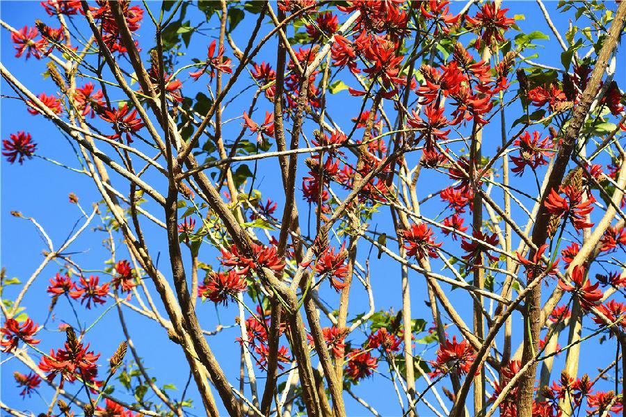 据悉,刺桐是一种树姿优雅的观赏树、庭荫树和行道树,树身高大挺拔,花色殷红。