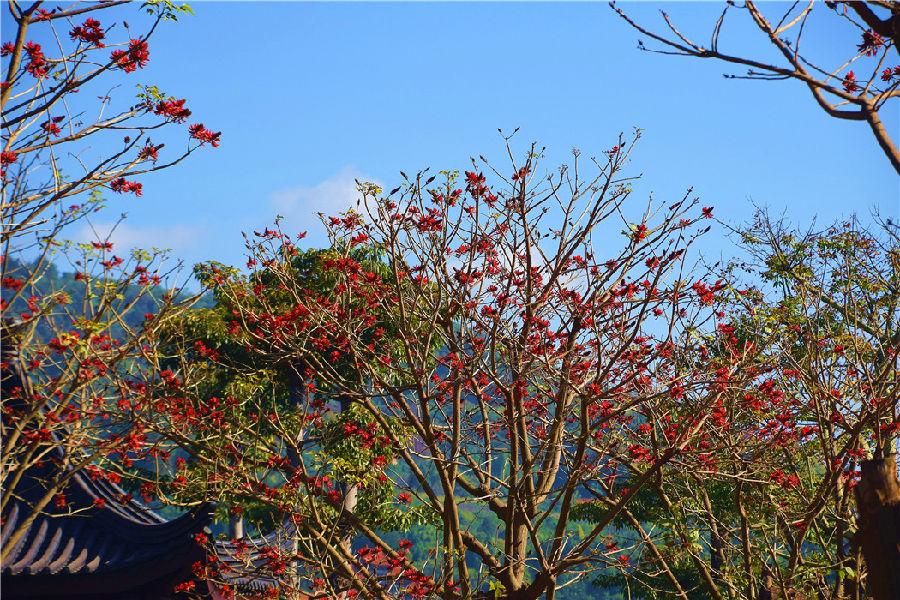 连日来,在弥勒各个景区,许多游客和市民在刺桐树前拍照留念。在这寒冷的冬天里,他们看到刺桐树桐花盛放,红得好像燃烧的火团,犹如看到天边的红霞,无不心花怒放、连连赞扬。(通讯员 赵树龙)