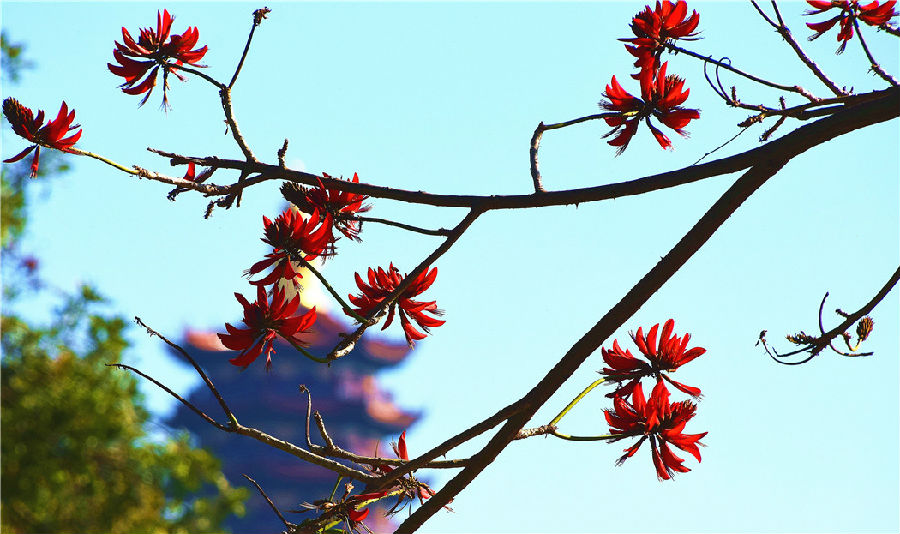 """一朵朵刺桐花如一团团燃烧的火焰,红红火火,把""""福城""""弥勒点缀得更加妩媚,别有一番韵味在心头。"""