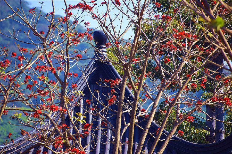 """走进锦屏山脚下的刺桐林,仿佛将自己置身于花的海洋。挺拔坚实的树干,清新奇崛的树枝,一朵朵月牙形的红花从繁茂的枝叶中探出头来,如一簇簇熊熊燃烧的火苗,又如一串串熟透了的红辣椒,火红的花朵嵌印在湛蓝的天空下,让人产生""""经冬来往不踏雪,尽在刺桐花下行""""的感受。"""