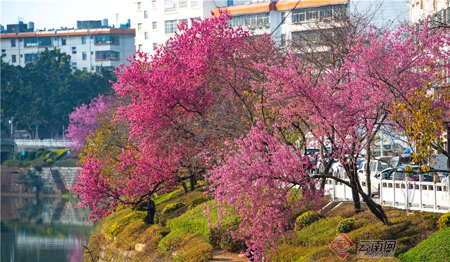 文山城冬樱花盛开