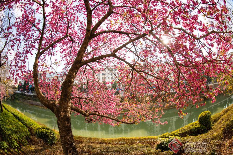 文山城区冬樱花盛开艳若云霞,许多市民一起相约赏冬樱花美。(通讯员 熊平祥 摄影报道)