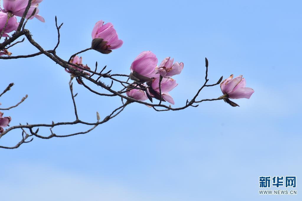 近日,云南省大理白族自治州云龙县清水朗山上的滇藏木兰竞相绽放,引得许多游客前去赏花。(李少军 普振华)